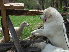 Pyr meets sheep